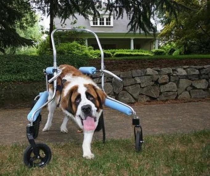Psy na wózkach inwalidzkich