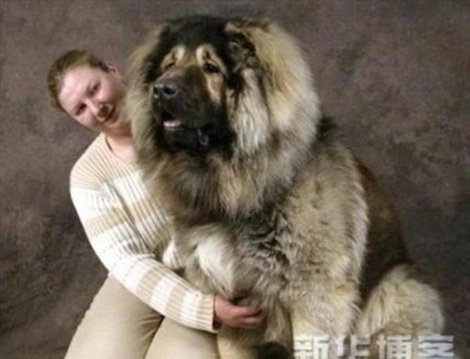 pies olbrzym