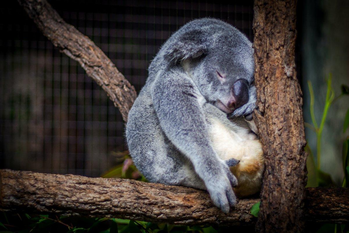 śpiąca koala