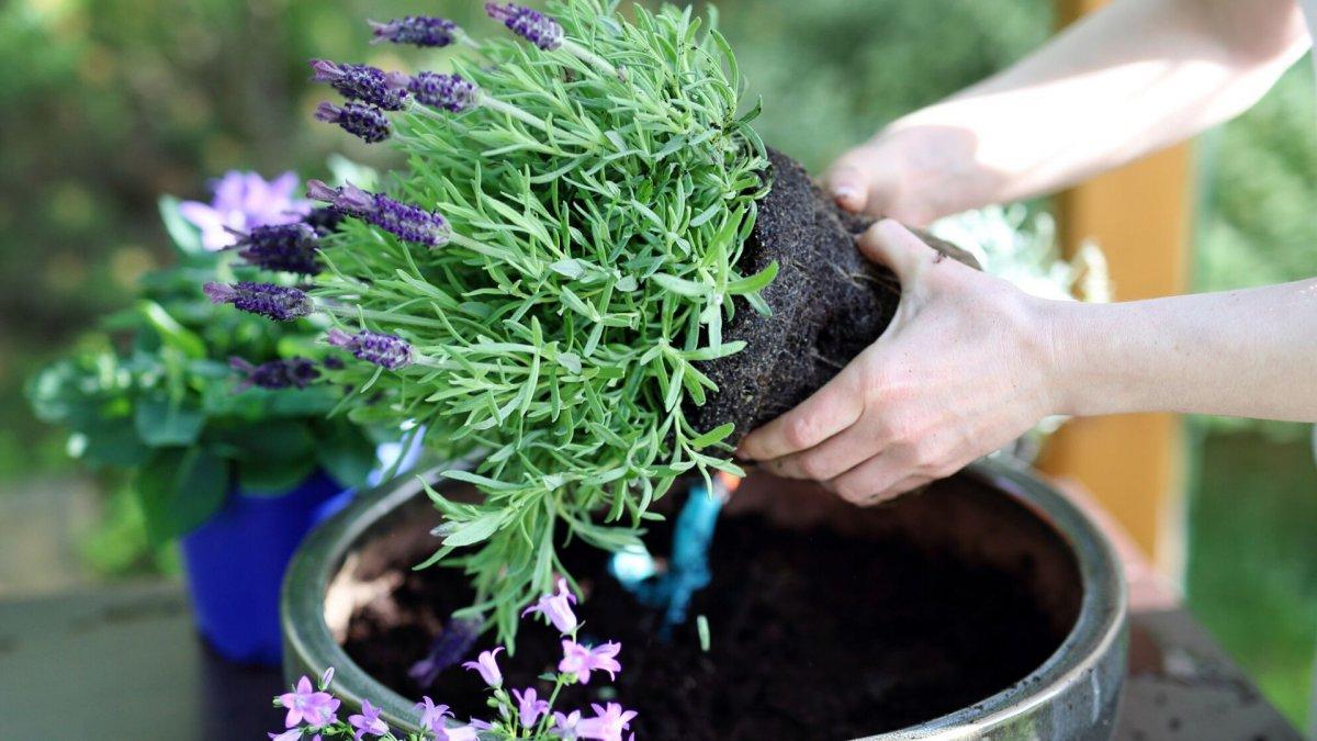 sadzenie lawendy
